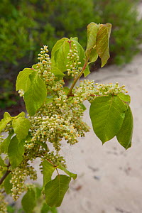 Poison Ivy (Toxicodendron / Rhus radicans) flowers. Higbee Beach, New Jersey, USA, May.  -  Doug Wechsler