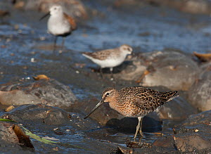 Short-billed Dowitcher (Limnodromus griseus) feeding on horseshoe crab eggs with other birds in the background. Delaware Bay, New Jersey, May. - Doug Wechsler