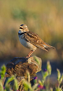 Calandra Lark (Melanocorypha calandra) singing from a stone. Castro Verde, Alentejo, Portugal, April.  -  Roger Powell