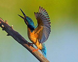 Kingfisher (Alcedo atthis) territorial display to warn rivals. Castro Verde, Alentejo, Portugal, April. - Roger Powell