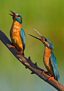 Kingfishers (Alcedo atthis) engaged in threat display to warn tresspassing rival. Castro Verde, Alentejo, Portugal, April.  -  Roger Powell