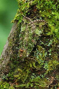 Green arches moth (Anaplectoides prasina) camouflaged on moss covered tree trunk, Peatlands Park, County Armagh, Northern Ireland, UK, June  -  Robert Thompson