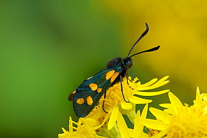 Six-spot burnet moth (Zygaena filipendulae f. flava) on Ragwort flowers, Sheeplands, County Down, Northern Ireland, UK, July  -  Robert Thompson