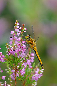 Black sympetrum dragonfly (Sympetrum danae) female resting on Ling heather, Montiaghs Moss,  County Antrim, Northern Ireland, UK, July  -  Robert Thompson