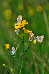 Common Blue Butterflies (Polyommatus icarus) at rest on Buttercup (ranunculus sp). Kingcombe Meadows nature reserve, Dorset, UK May 2011.  -  Colin Varndell