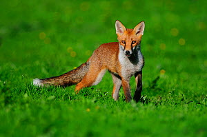 Young Fox (Vulpes vulpes) in summer. Dorset, UK, July. - Colin Varndell