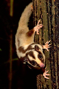Striped Possum (Dactylopsila trivirgata) on tree trunk. Honey has been placed there to encourage marsupials into the reserve. Chambers Rainforest Resort, Cairns, North Queensland, Australia.  -  Steven David Miller