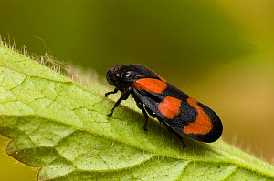 Frog Hopper (Cercopis vulnerata) close-up on leaf. East Sussex, England, May.  -  Andy Sands