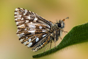 Grizzled Skipper (Pyrgus malvae) perched with wings closed. West Sussex, England, May.  -  Andy Sands