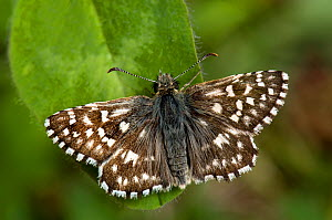 Grizzled Skipper (Pyrgus malvae) basking on leaf. West Sussex, England, May.  -  Andy Sands