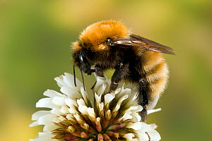 Northern Moss Carder Bee (Bombus muscorum) feeding on white clover flower. Isle of Tiree, Captive, June. - Andy Sands