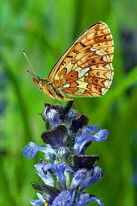 Pearl-bordered Fritillary (Boloria euphrosyne) with wings closed on Bugle flower. West Sussex, England, June.  -  Andy Sands