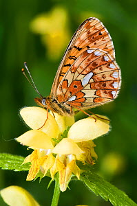 Pearl-bordered Fritillary (Boloria euphrosyne) with wings closed on Yellow Archangel (lamiastrum galeoblodon) flower. West Sussex, England, June.  -  Andy Sands