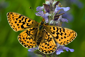 Pearl-bordered Fritillary (Boloria euphrosyne) on bugle flower. West Sussex, England, June.  -  Andy Sands