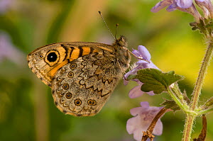 Wall Brown / Wall Butterfly (Lasiommata megera) with wings closed on flower. UK, Captive, May. - Andy Sands