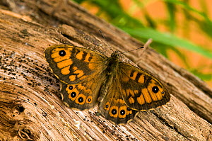 Wall Brown / Wall Butterfly (Lasiommata megera) basking with wings open on log. Captive. UK, May. - Andy Sands