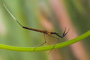 Water Stick Insect (Ranatra linearis) clinging to water lily stem underwater. Captive. UK, May.  -  Andy Sands
