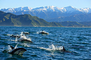 A pod of Dusky Dolphins (Lagenorhynchus obscurus) breaching the sea surface with snow-capped mountains in the distance. Kaikoura, South Island, New Zealand, July.  -  Brandon Cole