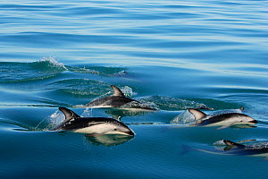 A pod of Dusky Dolphins (Lagenorhynchus obscurus) at the sea surface. Kaikoura, New Zealand, July.  -  Brandon Cole