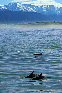 Three Dusky Dolphins (Lagenorhynchus obscurus) at the surface before snow-capped peaks. Kaikoura, South Island, New Zealand, July.  -  Brandon Cole