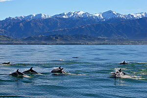 A pod of Dusky Dolphins (Lagenorhynchus obscurus) at the surface before snow-capped peaks. Kaikoura, South Island, New Zealand, July.  -  Brandon Cole