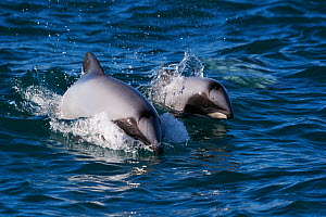 Two Hector's Dolphins (Cephalorhynchus hectori) breaching the sea surface. New Zealand, Pacific Ocean, August.  -  Brandon Cole