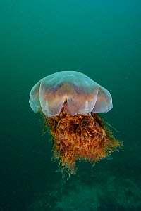 Lion's Mane Jellyfish (Cyanea capillata). British Columbia, Canada, Pacific Ocean, September.  -  Brandon Cole