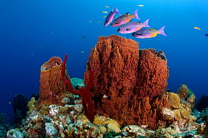 Giant Barrel Sponge (Xestospongia muta) on top of reef is a fish cleaning station. Small yellow fish in background (juvenile Bluehead Wrasses, Thalassoma bifasciatum) swarm about, remove parasites and...  -  Brandon Cole