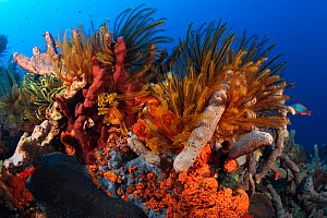 Luxurious invertebrate growth on coral reef at 120 feet deep. Crinoids (Davidaster) mixed among many species of sponges and coral. Dominica, Caribbean Sea, January. - Brandon Cole