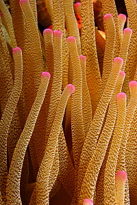 Tentacles of the Giant Sea Anemone (Condylactis gigantea). Dominica, Caribbean Sea, January. - Brandon Cole