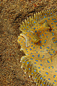 Peacock Flounder (Bothus lunatus). Dominica, Caribbean Sea, January.  -  Brandon Cole