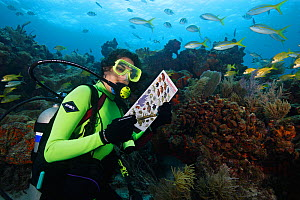 Scuba diver identifying fish on a coral reef with printed fish guide. Florida Keys National Marine Sanctuary, Florida, USA, Atlantic Ocean, July. Model released.  -  Brandon Cole