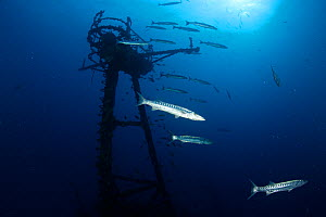 "Great Barracuda (Sphyraena barracuda) congregate around the radar tower of the USCG cutter ""Duane"", a 327-foot long shipwreck and artificial reef in the Florida Keys. Florida, USA, Atlantic Ocean, Jul...  -  Brandon Cole"