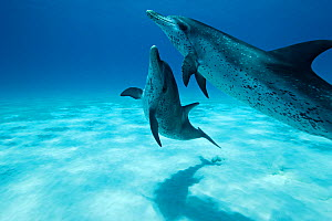 Atlantic Spotted Dolphins (Stenella frontalis) in shallow water. Bahamas, Atlantic Ocean, July.  -  Brandon Cole