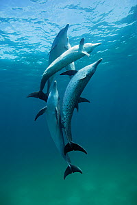 Atlantic Spotted Dolphins (Stenella frontalis) juveniles and adults playing in shallow waters. Bahamas, Atlantic Ocean, July.  -  Brandon Cole