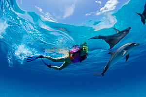 Atlantic Spotted Dolphin (Stenella frontalis) interacting with a person snorkeling. Bahamas, Atlantic Ocean, July. - Brandon Cole
