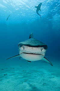 Portrait of a Tiger Shark (Galeocerdo cuvier) with a fish and a shark swimming above. Bahamas, Atlantic Ocean, July.  -  Brandon Cole