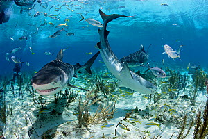 Tiger Sharks (Galeocerdo cuvier) among smaller fish in shallow waters. Bahamas, Atlantic Ocean, July.  -  Brandon Cole