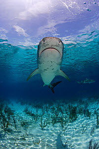 Tiger Shark (Galeocerdo cuvier) seen from below in shallow waters. Bahamas, Atlantic Ocean, July.  -  Brandon Cole