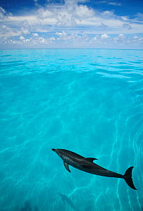 Atlantic Spotted Dolphin (Stenella frontalis) seen from the surface before expansive blue sea and open skies. Bahamas, Atlantic Ocean, July. - Brandon Cole