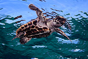 Hawksbill Sea Turtle (Eretmochelys imbricata) hatchling swimming at the sea surface. Florida, USA, Atlantic Ocean, July.  -  Brandon Cole