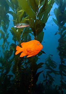 Garibaldi (Hypsypops rubicundus) in kelp. California, USA, Pacific Ocean, November. - Brandon Cole