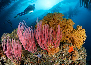 Red Gorgonians (Lophogorgia chilensis) and Golden Gorgonians (Muricea californica) on rocky reef in kelp forest, at 60 feet deep, with scuba diver above. California, USA, Pacific Ocean. Model released...  -  Brandon Cole