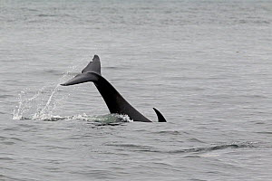 Orca / Killer Whale (Orcinus orca) using its tail to slap the surface to stun herring. Frederick Sound, Alaska, July.  -  Charlie Summers
