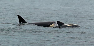 Orca / Killer Whales (Orcinus orca) adult and youngster swimming together. Frederick Sound, Alaska, July.  -  Charlie Summers
