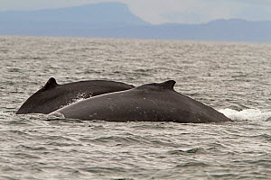 Two Humpback Whales (Megaptera novaeangliae) starting to dive. Frederick Sound of the Inland Passage, Alaska, July.  -  Charlie Summers