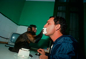 A capuchin monkey (Cebus sp) wipes the face of its owner with a napkin. The monkey is trained to be a companion and assistant for its owner, who has physical disabilities, and it can perform many simp...  -  Jeff Rotman