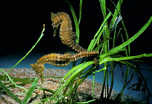 Spiny / thorny sea horses (Hippocampus hystrix) attached to eel grass, East Australia, Pacific Ocean. - Jeff Rotman