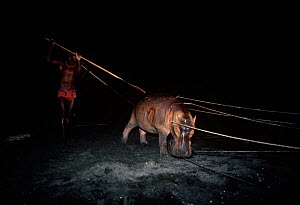 El Molo warriors stabbing a Hippopotamus (Hippopotamus amphibius) during a night hunt, Lake Turkana, Kenya, April 2008.  -  Jeff Rotman