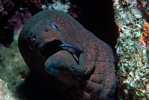A Moray Eel (Gymnothorax javanicus) being cleaned by a Bluestriped Cleaner Wrasse (Labroides dimidiatus) in  symbiotic relationship. The Red Sea, Egypt.  -  Jeff Rotman